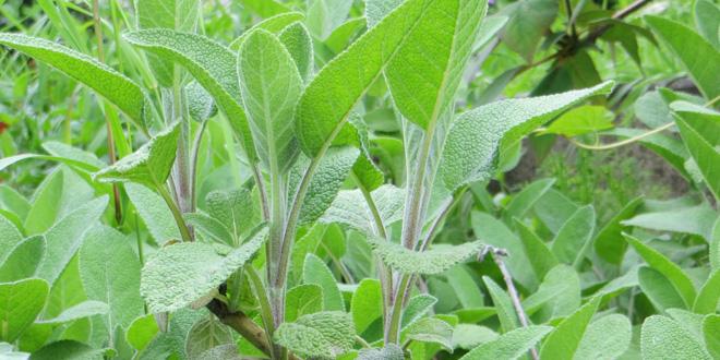 Salbei, eine Pflanze mit vielseitiger Anwendung