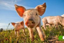 Der Schmäh mit Bioschwein & Co