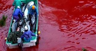 Delfin-Massaker in Taiji, Japan