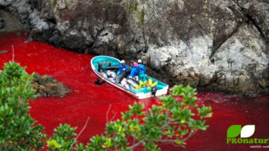 Delfin-Massaker in Taiji, Japan