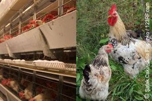 Hühnerhaltung mit großem Unterschied