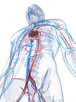 Blutbahnen im menschlichen Körper  (©123rf.com)