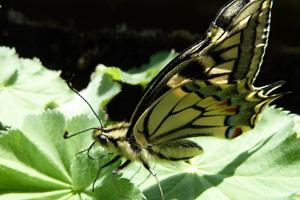 Schmetterling, ein Symbol für Leichtigkeit
